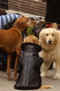 Hunde in NY